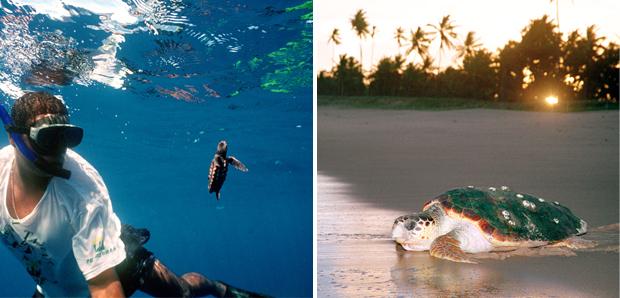 Notícias - Temporada 2012/2013: tartarugas marinhas voltam às praias para desovar  Temporada-2012-13_a